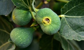 figs-3622574_960_720
